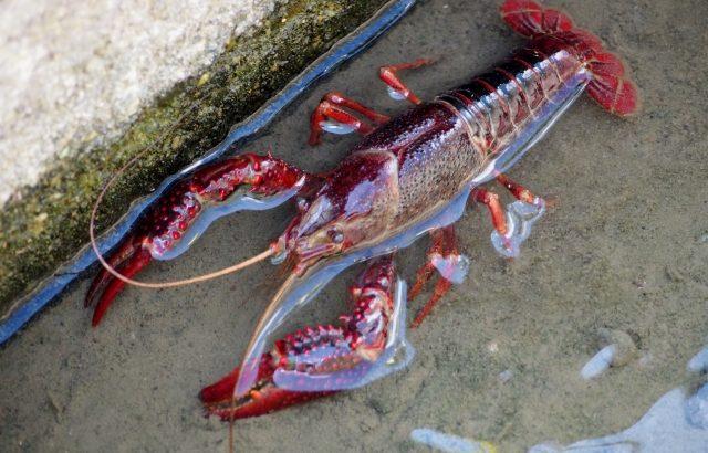 ザリガニ釣り堀に行ってみたい!関東の4ヶ所 オマールエビ釣りもあるよ