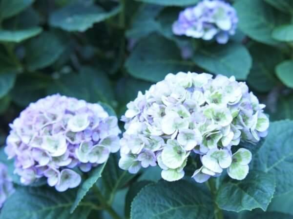 紫陽花の鉢植えの植え替え時期と方法