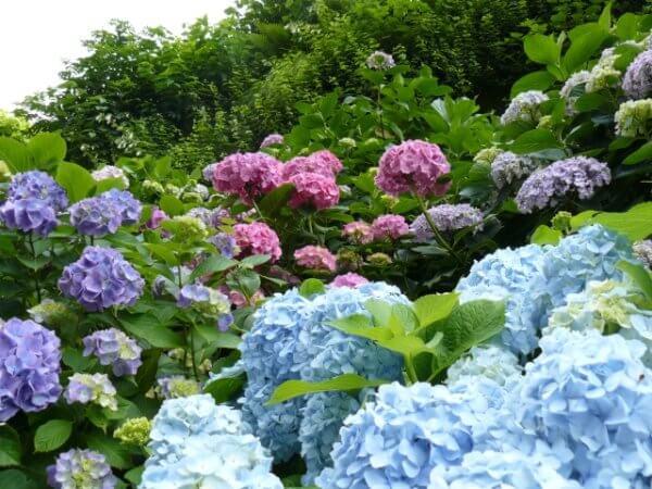 紫陽花を鉢植えから地植えに移す方法