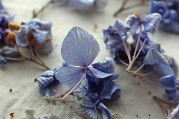 紫陽花の鉢植えが枯れる原因と対策